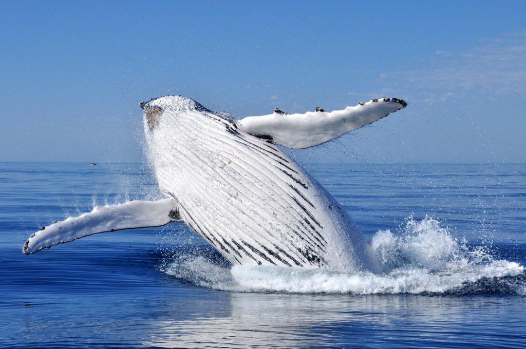whale-breaching-1nikon-6-426[1]